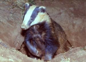 Badger Surveys