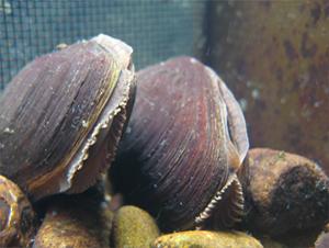 fresh water pearl muscles, fresh water pearl muscles surveys