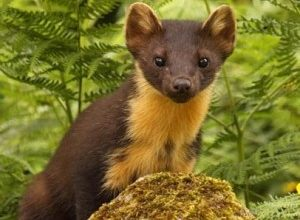 Pine Martens,Pine Marten Breeding Den Surveys
