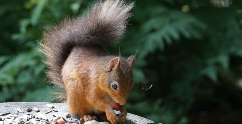 Red squirrels, Transect Survey