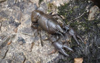 White-Clawed Crayfish, White-clawed Crayfish, WCC, Survey