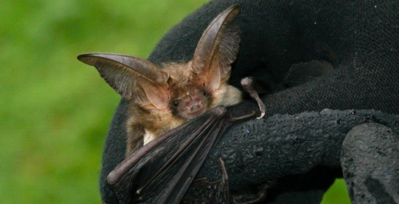 Professional surveys of hibernating bats including Brown long-eared bat, Plecotus auritus, Irish bats, UK bats