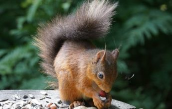 Red Squirrel Appreciation Day, 21 January