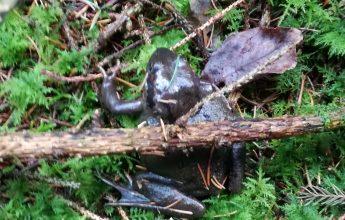Common Frog, Native Amphibian